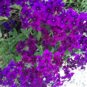 Verveine fleurs (Verbena x hybrida), verveine des jardins
