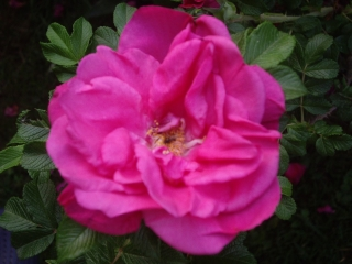Rosa  rugosa double rouge