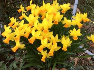 Narcisse & jonquille